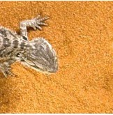 Sand Reptiles