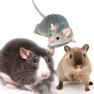 MOUSE, RAT, GERBIL